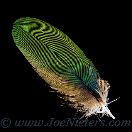 Blue-Green Feather #1